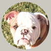 Zeta, the paintball bulldog - 14k